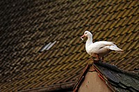 Muscovy Duck Cairina moschata standing on the ridge of a roof