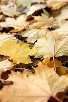 Autumnal maple leaves covering the ground