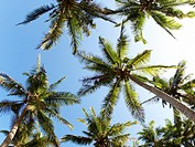 Below view of beautiful palms with with bright blue sky above