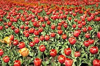Background of red tulips in the city at summer