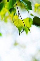 Birch tree branch with green leaves close up