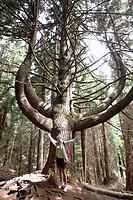 Candelabrum tree, Madeira, Portugal.