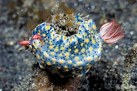 Nudibranch Hypselodoris infucata  Lembeh Strait, Celebes Sea, North Sulawesi, Indonesia