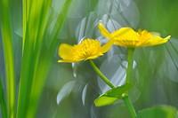Marsh Marigold (Caltha palustris), Finland, June 2010