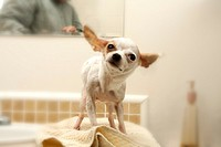 A white chihuahua shakes after a bath