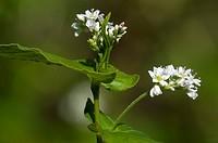 Buckwheat (Fagopyrum esculentum, Polygonaceae)