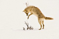 A coyote pouncing on its prey hidden beneath the snow in Yellowstone Park