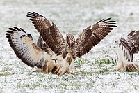 Common Buzzard Buteo buteo, three fighting over food in winter