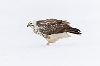 Common Buzzard Buteo buteo, feeding on carrion in snow