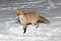 European Fox Vulpes vulpes, in snow covered garden, winter