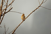 Spain, Balearic Islands, Mallorca, Song Thrush Turdus philomelos