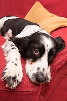 An English Springer Spaniel on the sofa indoors