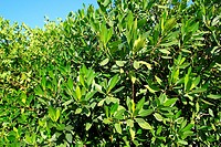 mangrove tree plant in tropical caribbean Mexico