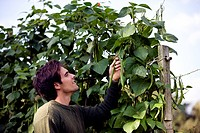 A young man picking runner beans on an allotment