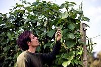 A young man picking runner beans on an allotment