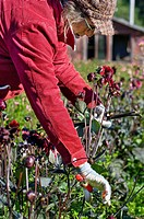 Farmer picking dahlias on organic flower farm, to be sold at farmers market, Humboldt County, California