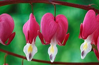 Dicentra spectabilis AGM Bleeding heart, Lyre flower April