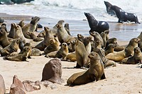 Colony of cape fur seals (Arctocephalus pusillus) on the shore in the Skeleton Coast Park, Namibia, Africa