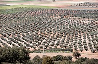 olive trees in province of Toledo, spain, castile la mancha