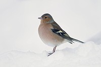 Chaffinch Fringilla coelebs adult male, standing in snow covered garden, Chirnside, Berwickshire, Scotland, december