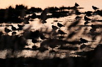 Northern Lapwing Vanellus vanellus flock, silhouetted on flooded grazing marsh at sunset, looking through reeds, North Kent Marshes, Kent, England, no...