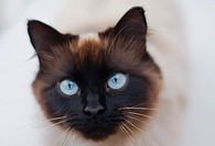 Domestic cat of 'Ragdoll' breed closeup