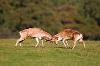 Fallow Deer Dama dama two bucks, fighting, during rutting season, Suffolk, England, october