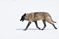 A lone grey wolf strolls across a snow covered meadow in Yellowstone Park with curled tongue and fangs