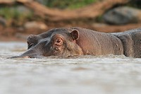 Eye level view of Hippo in water in Maasai Mara National Reserve.