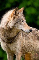 Timber wolf, Oregon Zoo, Washington Park, Portland, OR