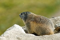 Marmot at the entry of its burrow in the natural regional park of Queyras