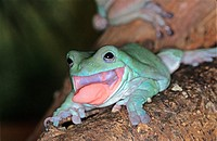 WHITE'S TREE FROG litoria caerulea, ADULT STICKING TONGUE OUT, AUSTRALIA