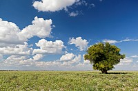 Africa, Botswana, View of central kalahari game reserve with a camel_thorn tree