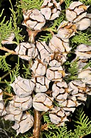 Cones of Cupressus sp. Osseja, Pyrenees-Orientales, Languedoc-Roussillon, France