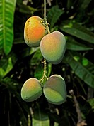 Alphonso mangoes, Mangifera indica L, Anacardiaceae are hanging on a tree