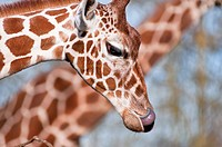 Reticulated Giraffe up close with its tongue out