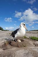 Hawaï , Midway , Sand Island , Albatros de Laysan  Phoebastria immutabilis , // Hawaï , Midway , Sand Island , Laysan Albatross ,  Phoebastria immutab...