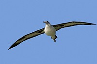 Hawaï , Midway , Sand Island , Laysan Albatross ,  Phoebastria immutabilis.