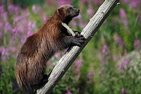 Wolverine Gulo gulo climbing up a tree, Finland