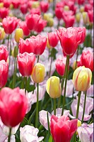 Tulipa border mixed