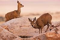 Africa, Namibia, Namib Desert, Klipspringer in Namib Naukluft National Park