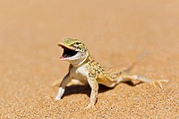 Africa, Namibia, Shovel_snouted lizard in namib desert