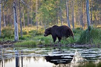 Brown Bear Ursus arctos standing at lakeshore, Finland