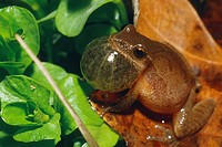 Northern Spring Peeper Hyla crucifer cruifer calling to his mate in early spring