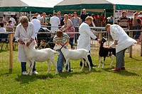 England, East Riding of Yorkshire, Driffield. Goat judging at Driffield Show, the biggest one day agricultural show in the country.