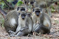 Green Monkey, Chlorocebus sabaeus, group sitting on the ground, The Gambia, Africa