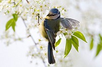 Blue tit Parus caeruleus, St  Lucie cherry in flower, Bavaria, Germany