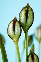 Tulipa tarda Late tulip Seed heads May