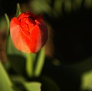 Close_up of a red tulip
