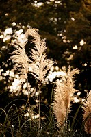 Close_up of silver grass